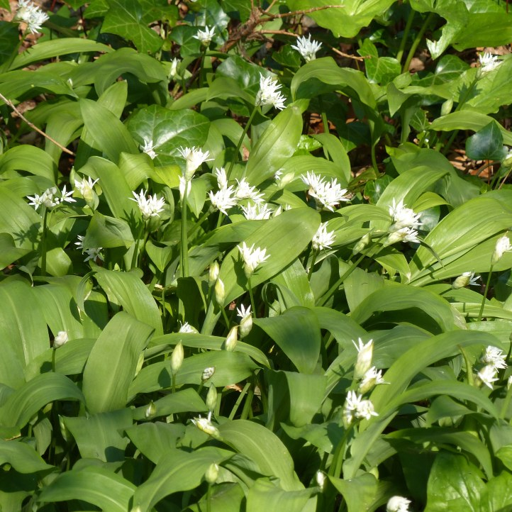 Close-up of white Ramsons or Wild Garlic flowers and green leaves