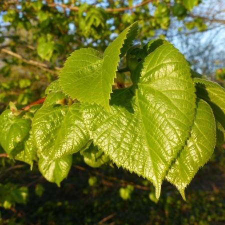 Lime tree leaves in spring