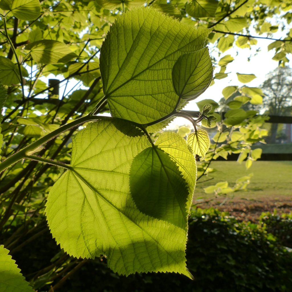 Lime tree leaves in spring in late evening light