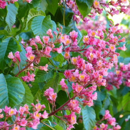Pink flowers on a Red Horse Chestnut tree