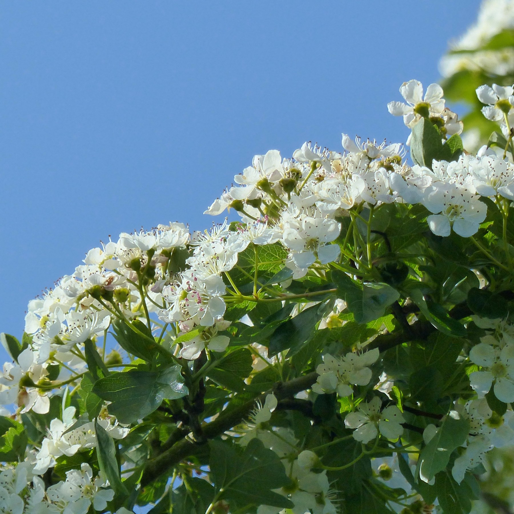 White hawthorn flowers in a hedgerow against blue sky
