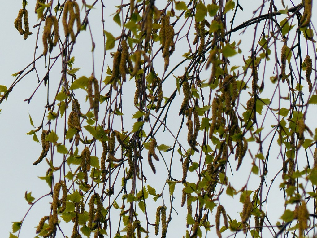 Detail of leafy birch tree and catkins against the sky