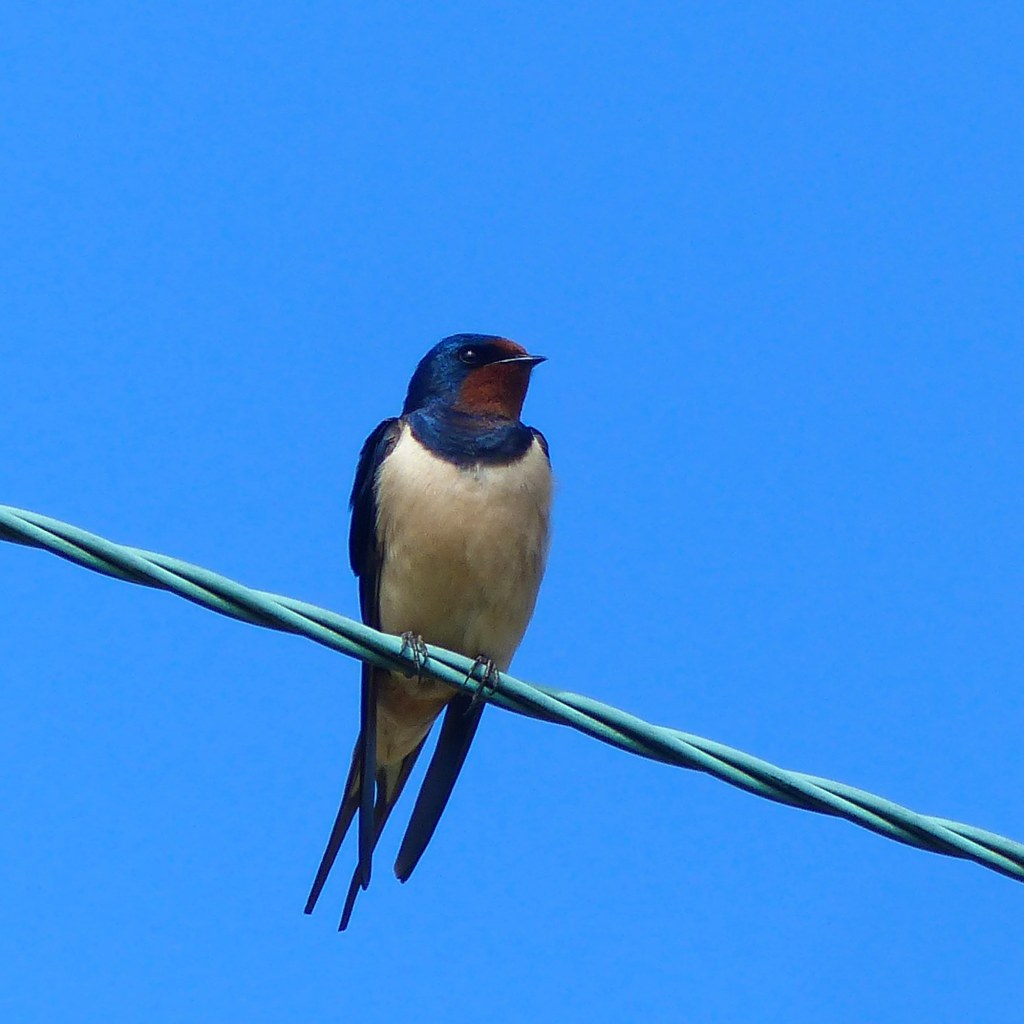 Swallow on a high wire against blue sky