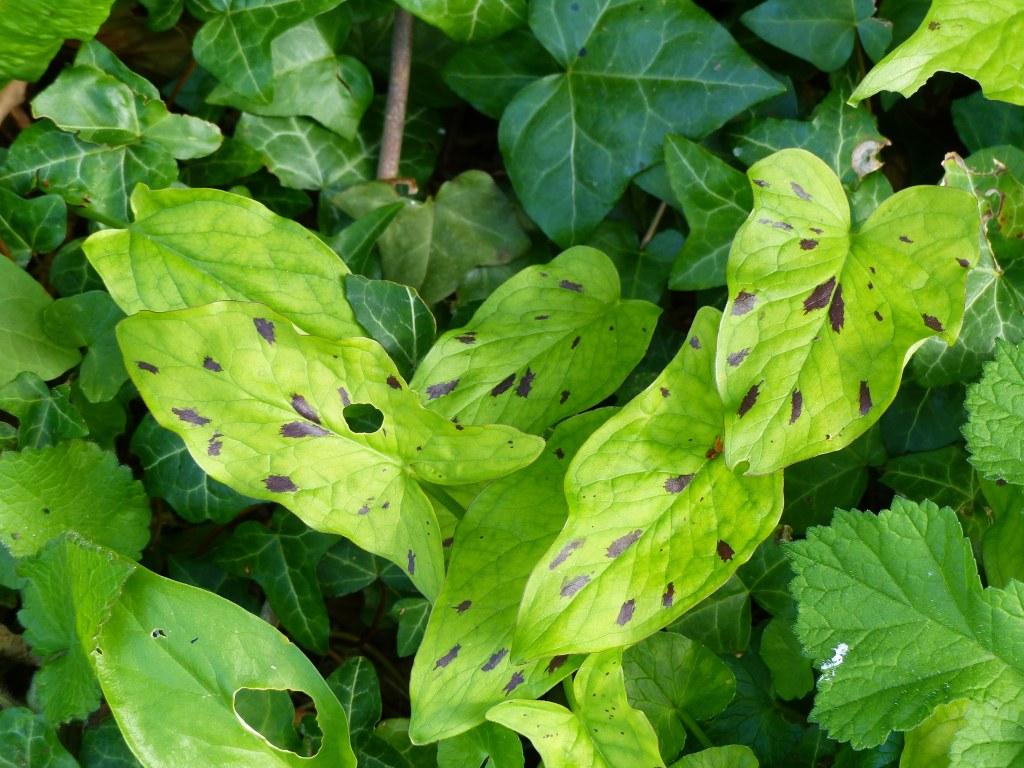 Leaves of Cuckoo Pint with purplish spots