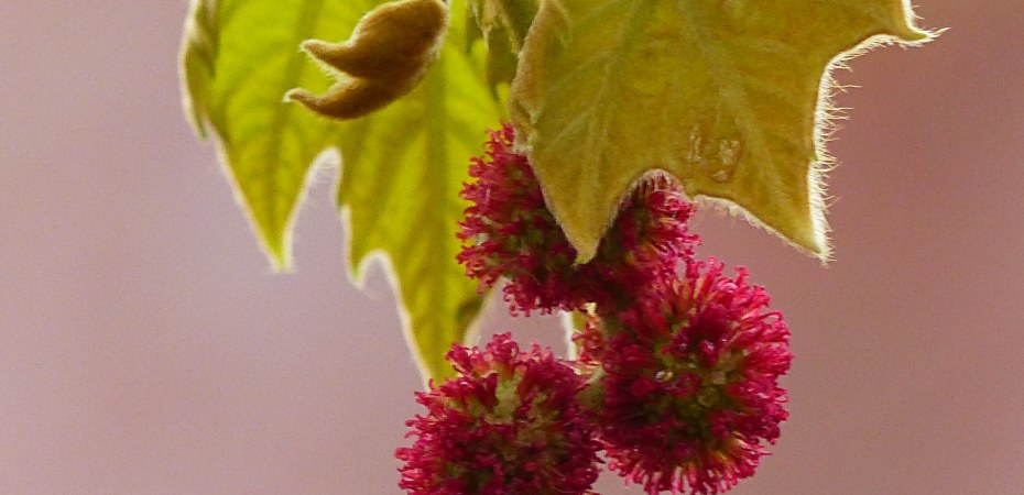 Red female flowers and furry new leaves of a Plane tree