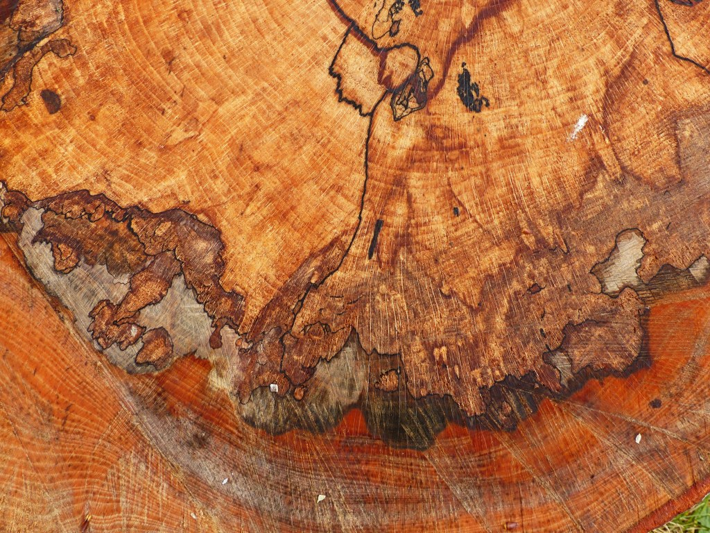 Cut surface of a beech tree stump with spalting patterns in the wood from fungal infection
