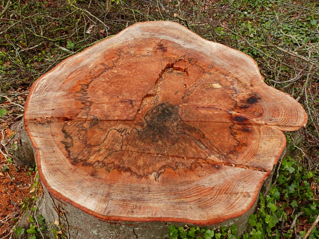 Beech tree stump with spalted wood from fungal infection