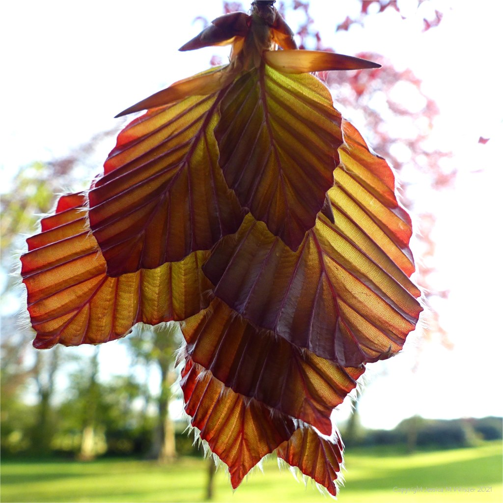 Close-up of newly unfolding copper beech leaves in Spring