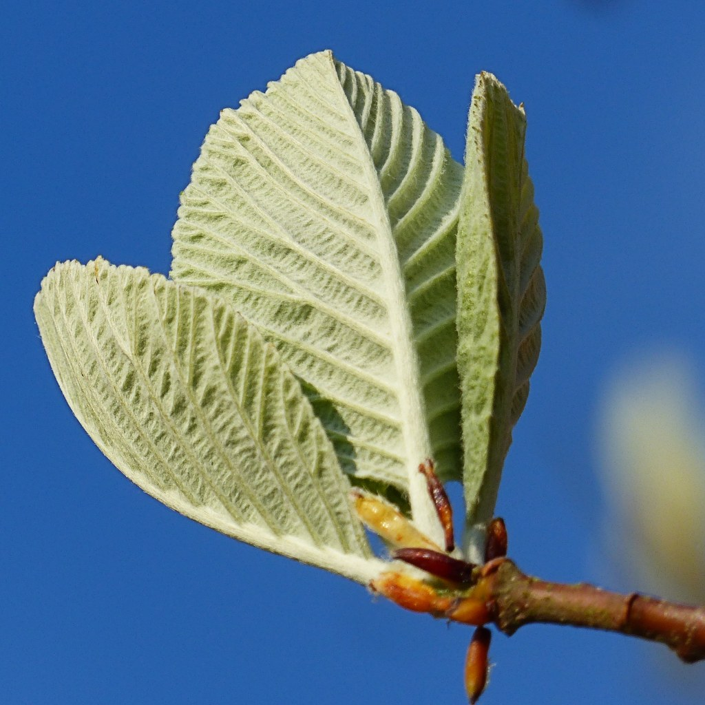 Close-up detail of opening Whitebeam leaves against blue sky