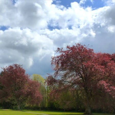 Red copper beech trees in spring with cloudy sky