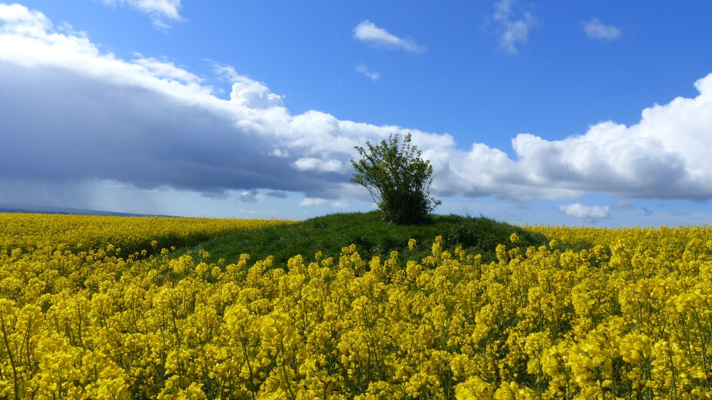 Round barrow amongst yellow rapeseed flowers against blue sky with clouds