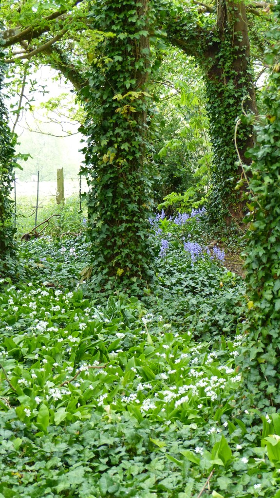 Wild Garlic or Ramsoms in flower with bluebells in a wood with trees