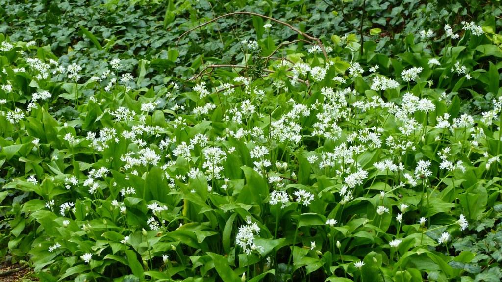 Flowering Wild Garlic or Ramsoms, Allium ursinum