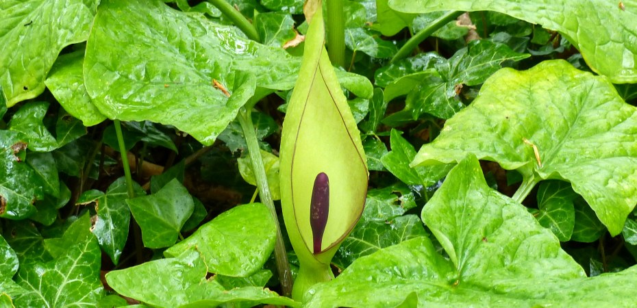 Strange flower of Cuckoo Pint or Lords-and-Ladies