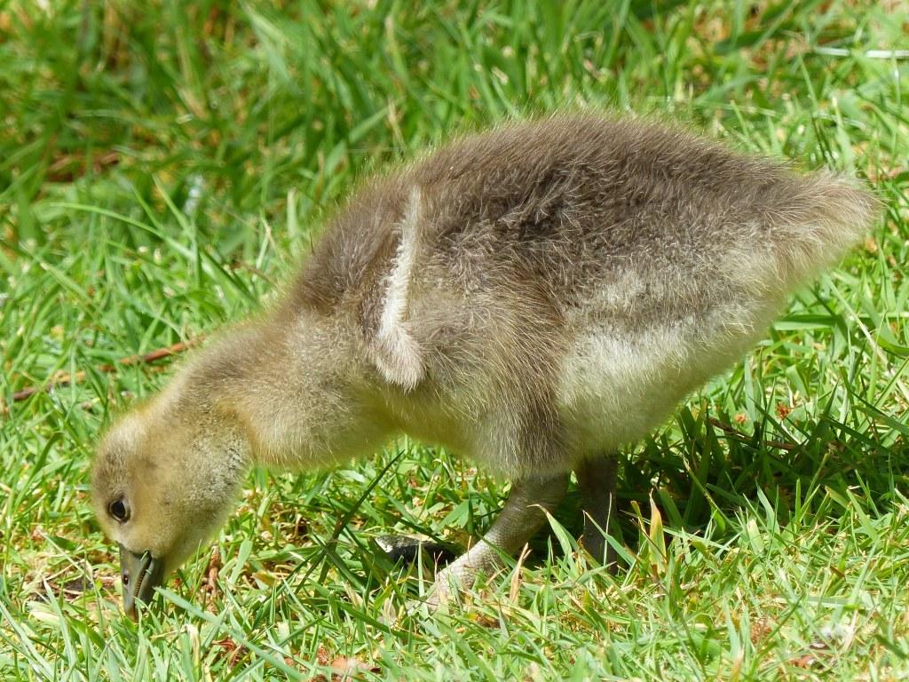 Greylag gosling