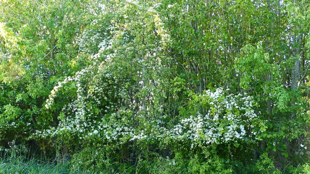 Flowering hawthorn in a belt of trees