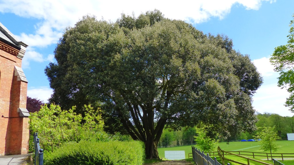 Holm Oak tree in grounds at Charlton Down in Dorset