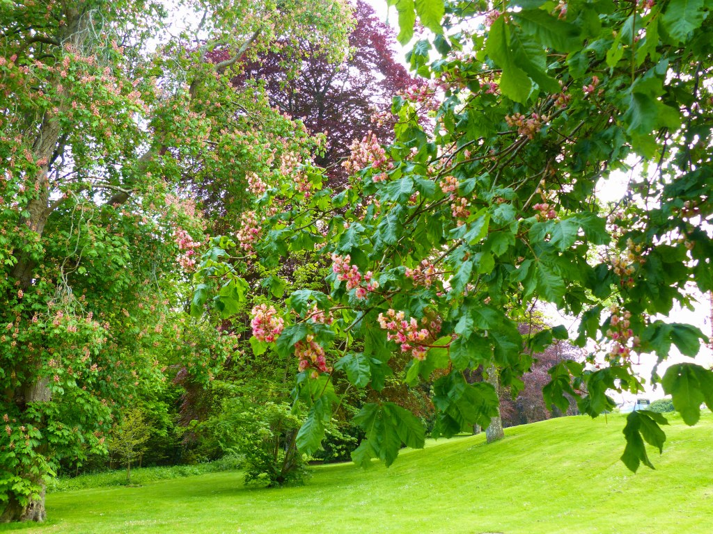 Pink flowers on an Red Horse Chestnut tree