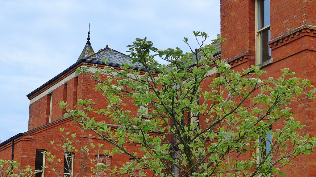 Whitebean leaves and flowers on pruned tree against red brick building