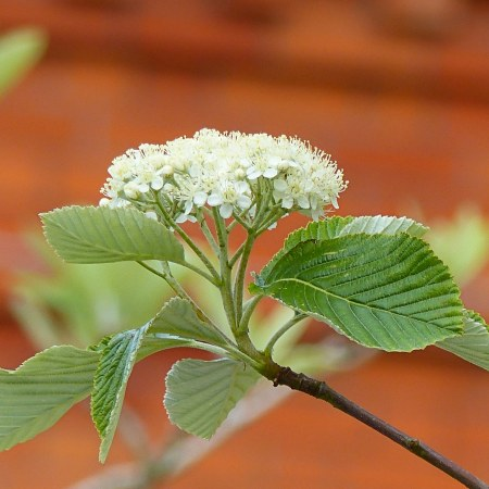 Close-up of Whitebeam leaves and flowers in Spring