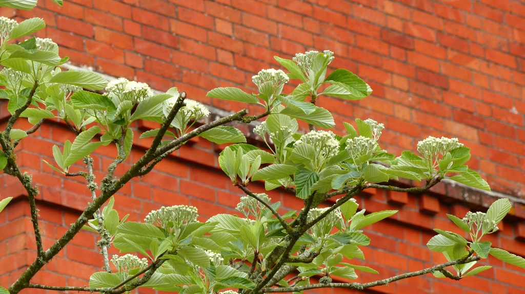 Leaves and flowers of a Whitebeam tree against a red brick building