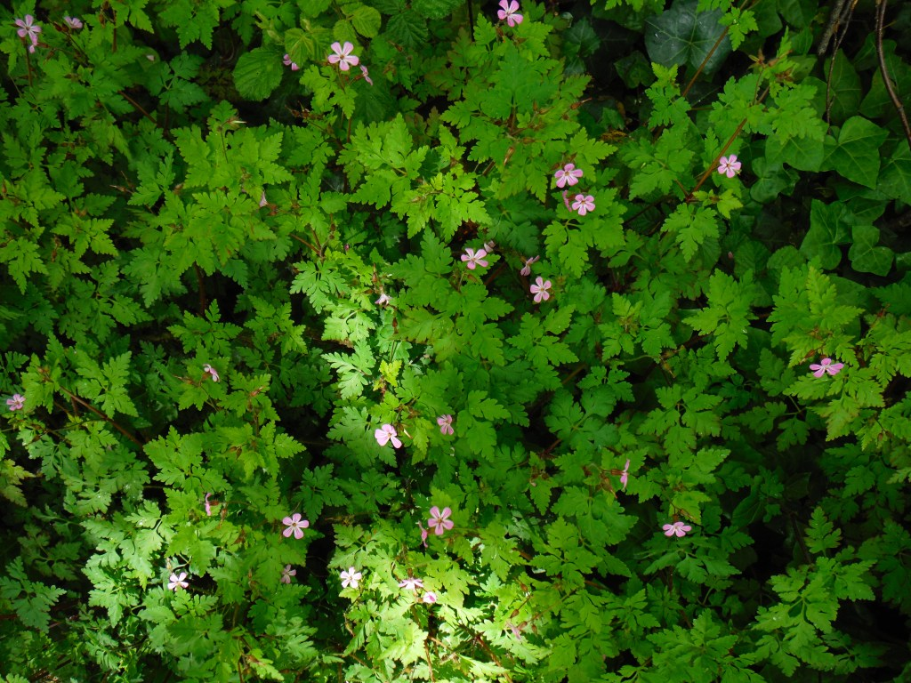 Green leaves and pink flowers of Herb Robert