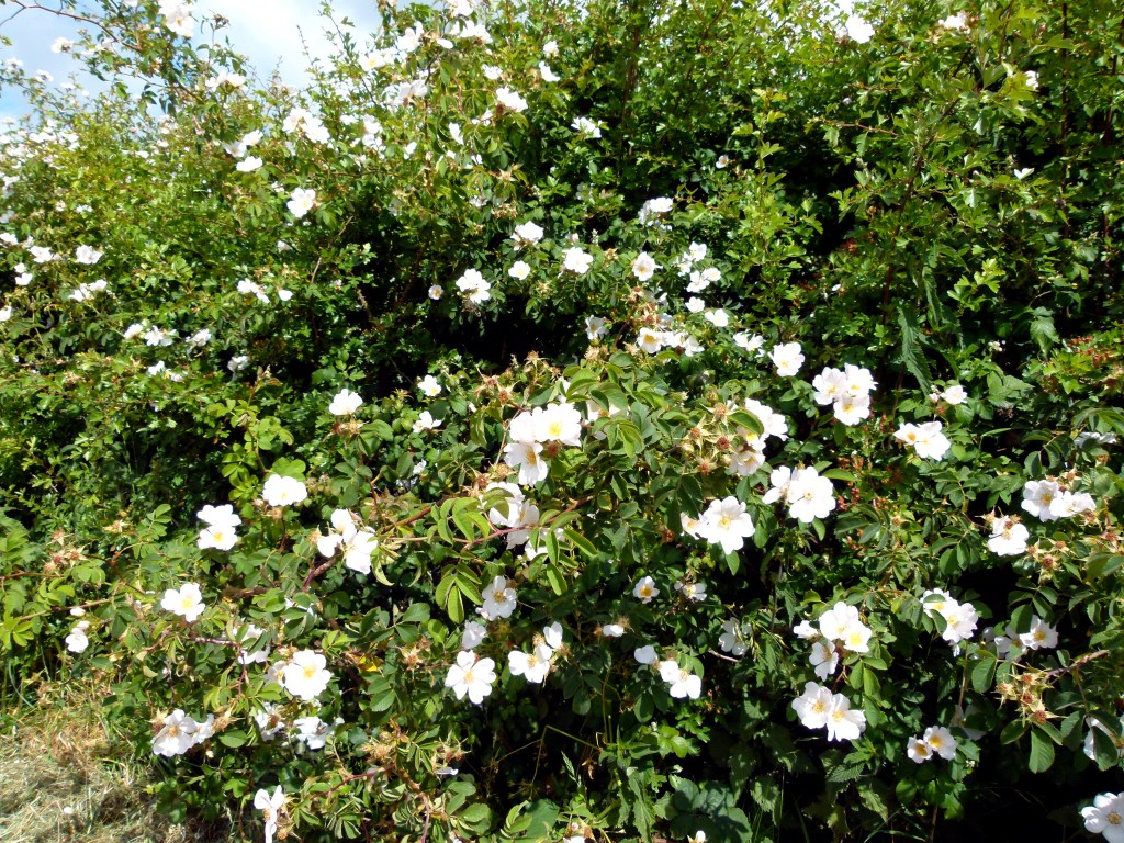 Dog rose flowers in a Dorset countryside hedgerow