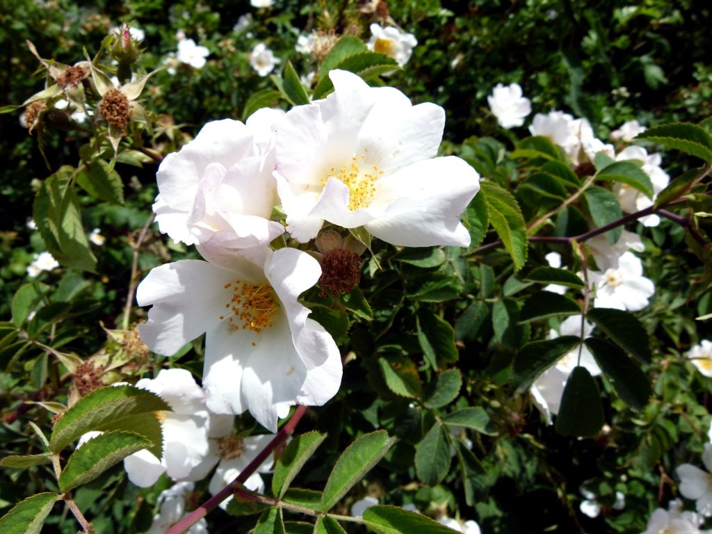 Dog Rose flowers in a hedgerow on Charminster Down in Dorset.
