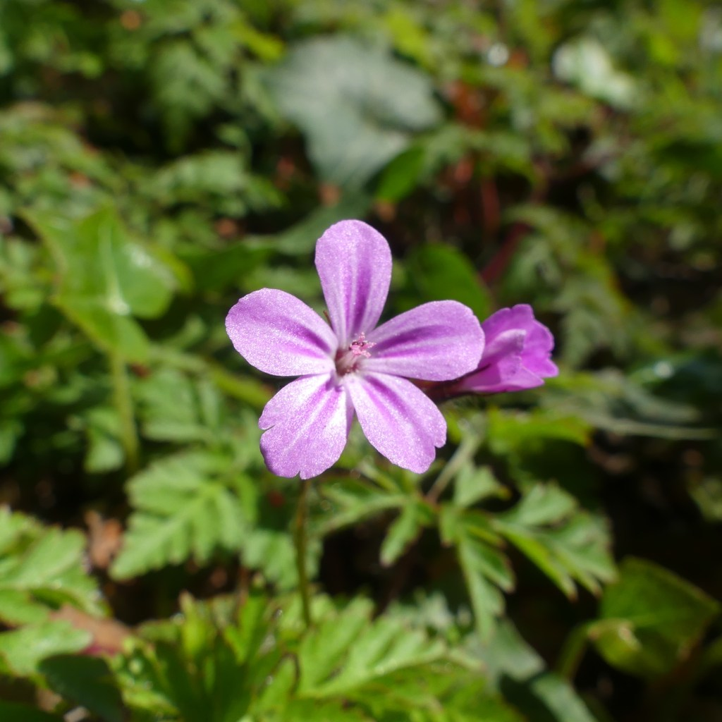 Close-up of pink flower of Herb Robert with green leaves
