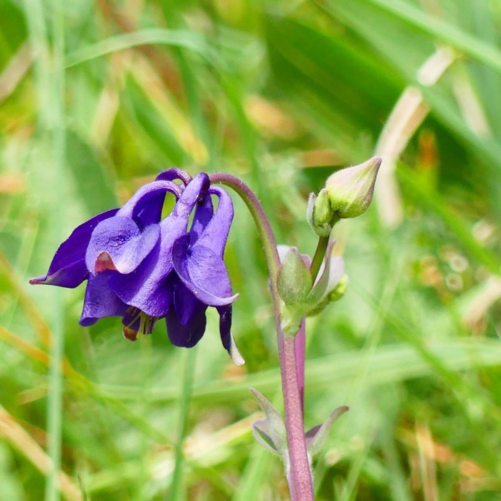 Purple Columbine flower on green background