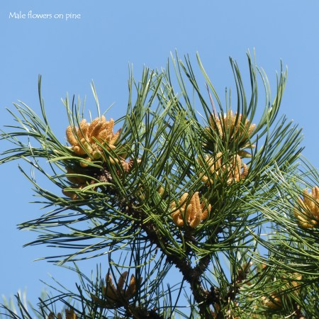 Male flowers on Scots Pine tree with needles and blue sky