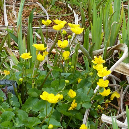 Yellow Marsh-marigold flowers and green leaves
