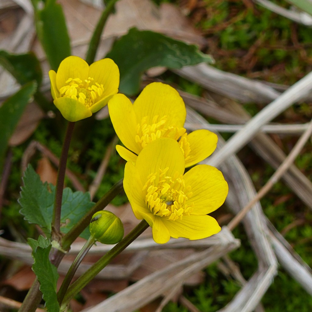 Close-up of yellow Marsh-marigold flowers growing beside a pond