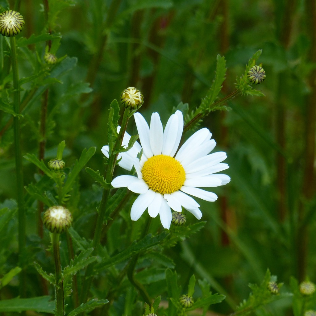Yellow and white oxeye daisy flower with green foliage