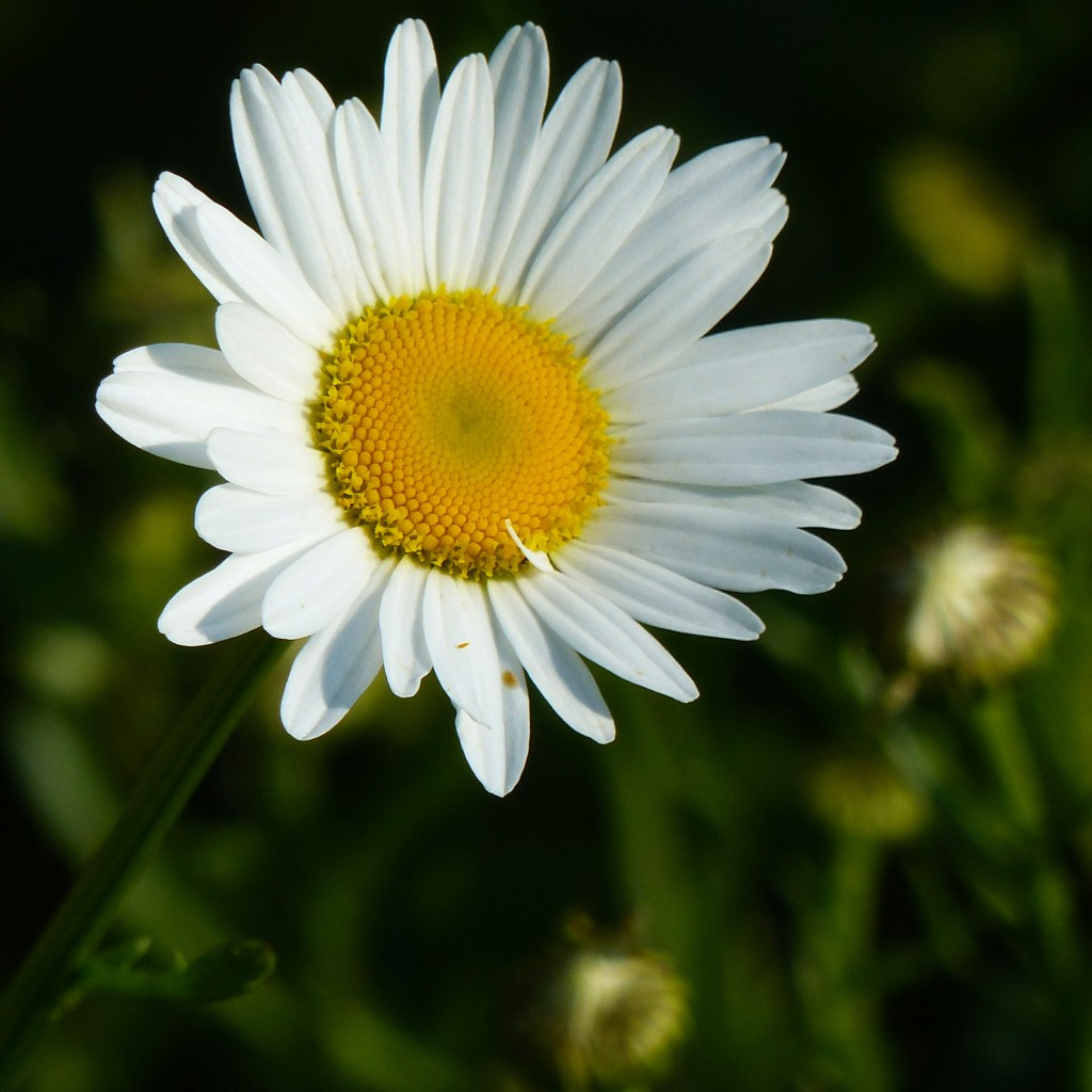 Close-up of white petals and yellow centre of Oxeye daisy flower with green background