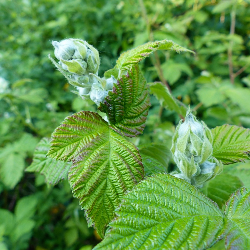 Green flower buds and leaves of bramble
