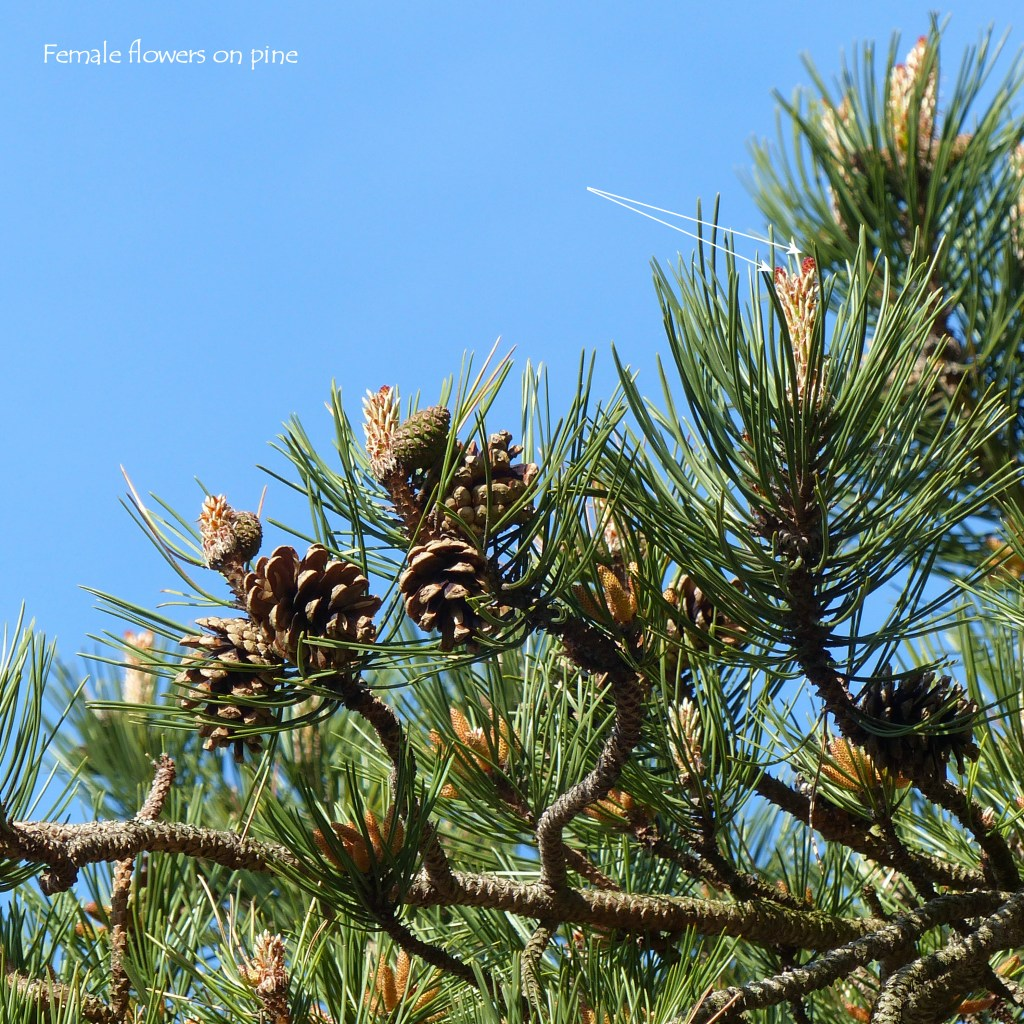 Female flowers on Scots Pine tree (Pinus sylvestris), pine needles, and cones, with blue sky