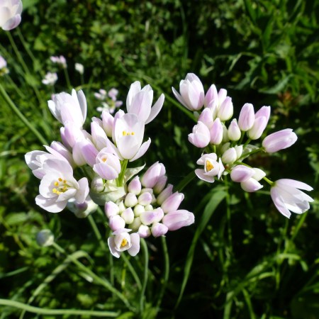 Pale pink wild flowers on a green background