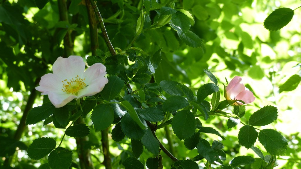 Pink and white Dog Roses in a hedgerow with green leaves and sun light