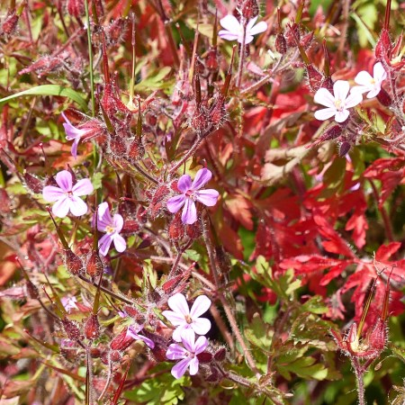 Herb Robert with red stems and leaves, pink flowers, and long pointed seed capsules