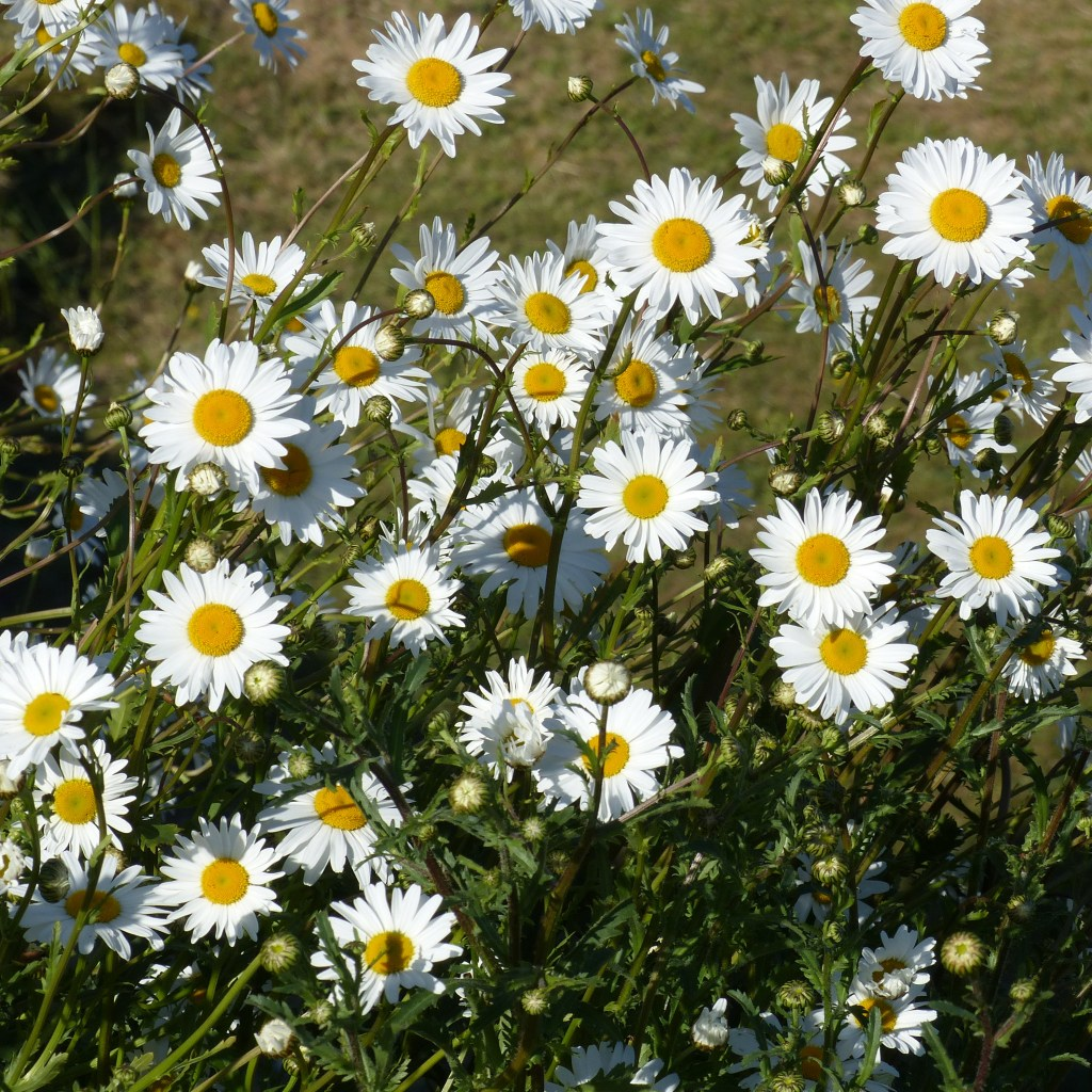 White petals and yellow centres of Oxeye daisy flowers with green vegetation