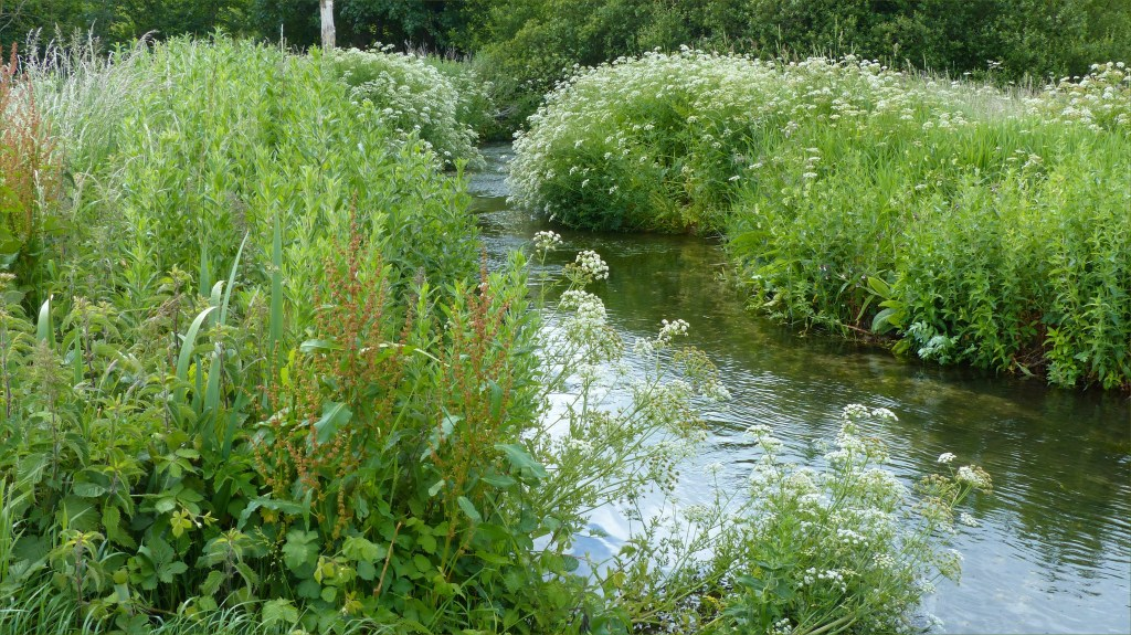 Green bankside vegetation with white flowers beside a small river in June
