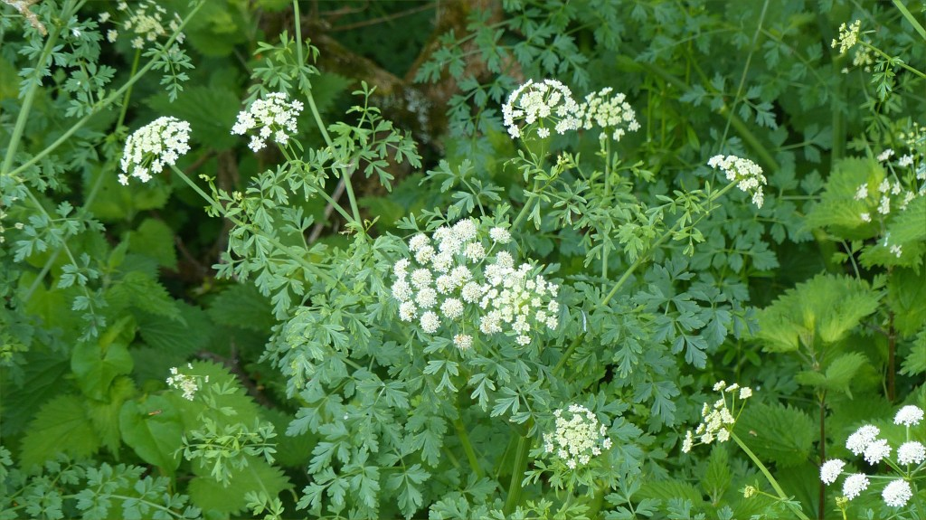 White flowers and green foliage on a riverbank