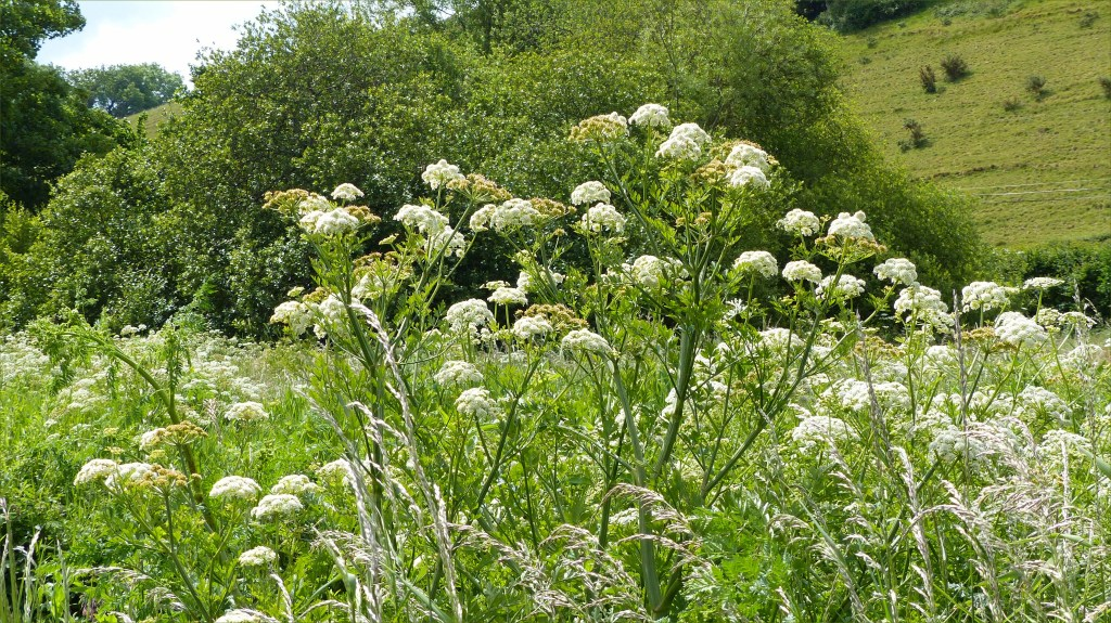 Water Dropwort flowers on a river bank with fields