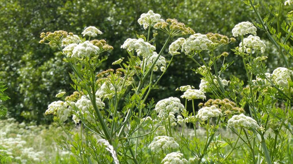 White water dropwort flowers