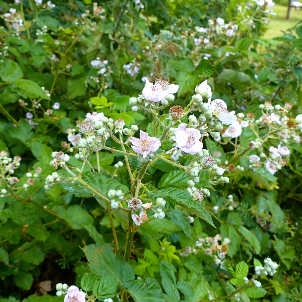 Pale pink flowers and green leaves on bramble