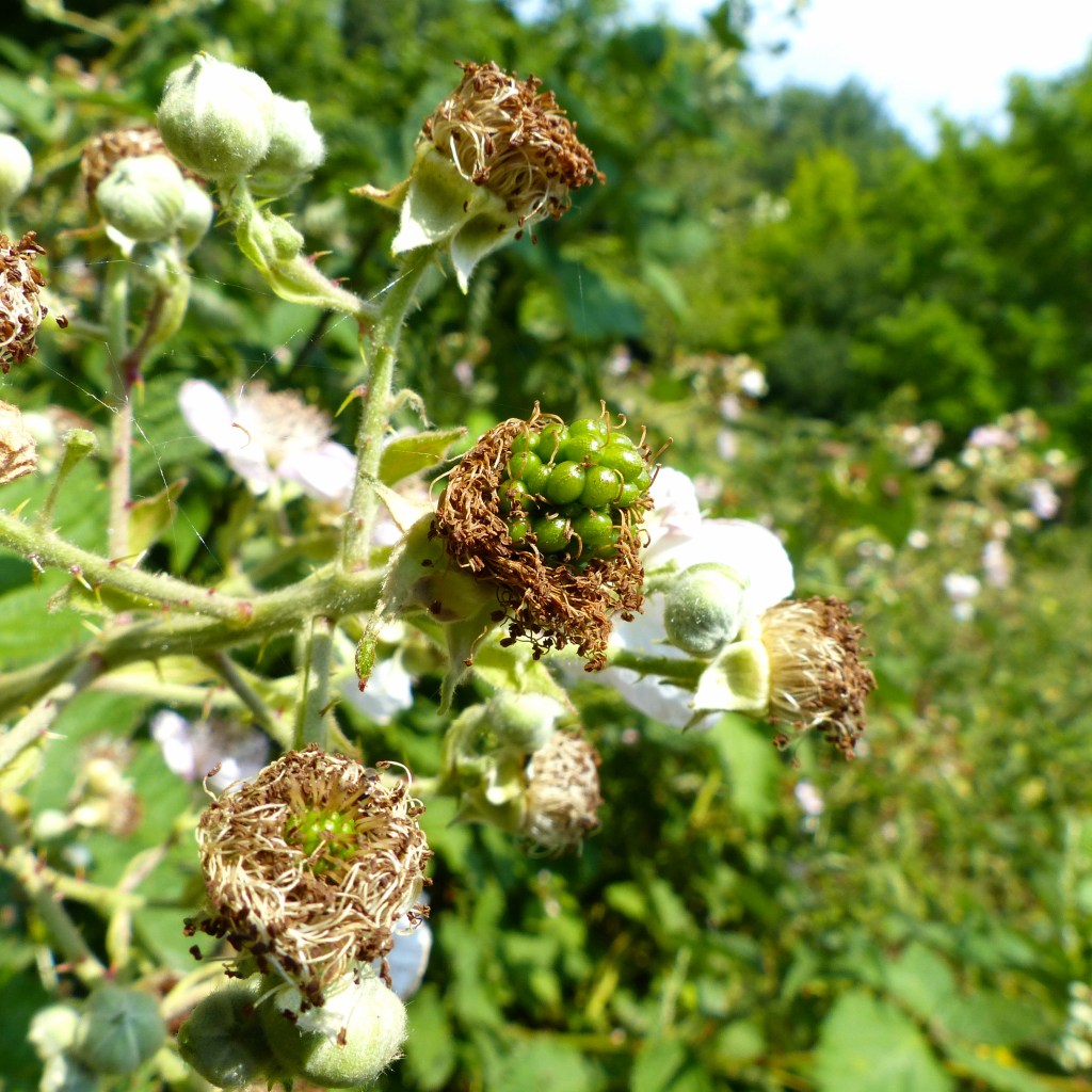 Green fruits and dying flowers on bramble