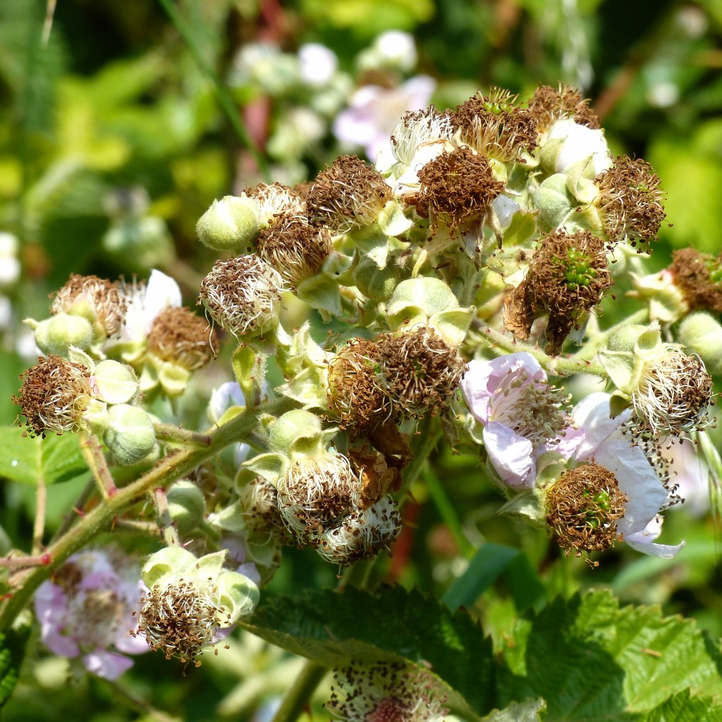 Bramble flowers fading and green fruits developing