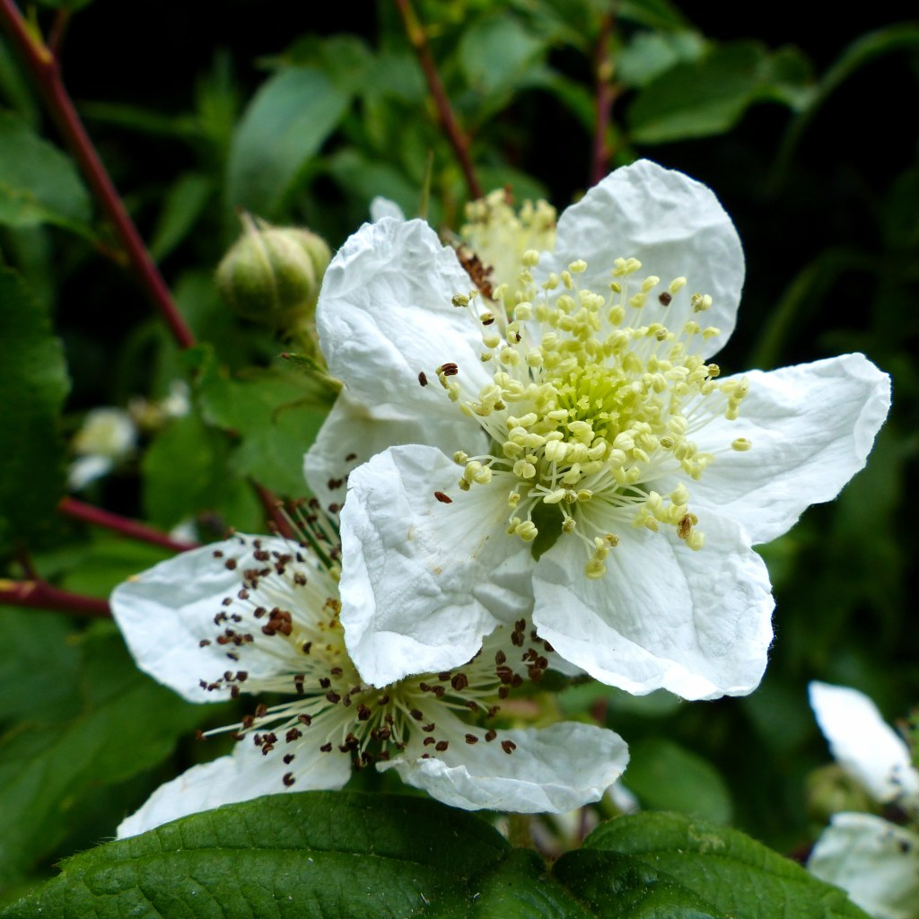 White bramble flowers in close-up with green background