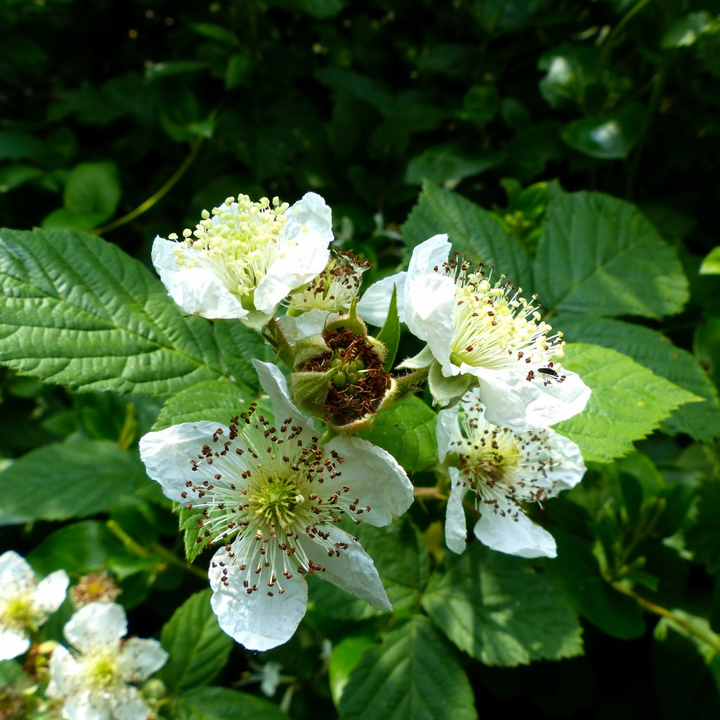 White bramble flowers with green leaves and green berry